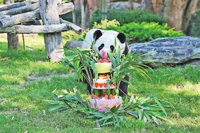 """法大熊猫宝宝庆生 """"圆梦""""爸爸妈妈是旅法大熊猫""""圆仔""""和""""欢欢""""(原创)"""