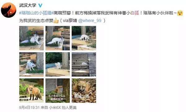 武汉大学小白狐:见到人不躲不避 动物专家却这样提醒喜爱它的人(原创)