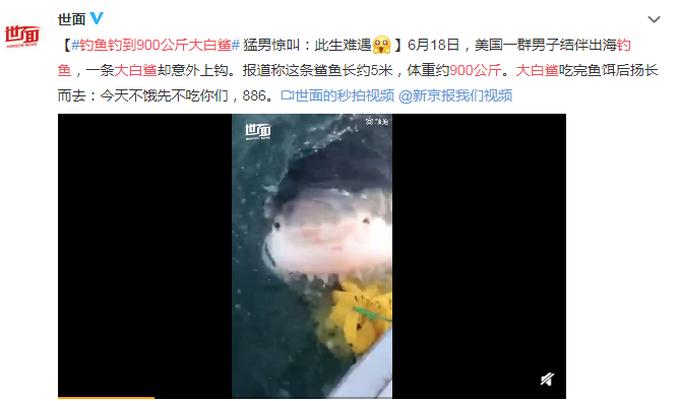 钓鱼钓到900公斤大白鲨,吃完鱼饵扬长而去 网友:竟有点可爱