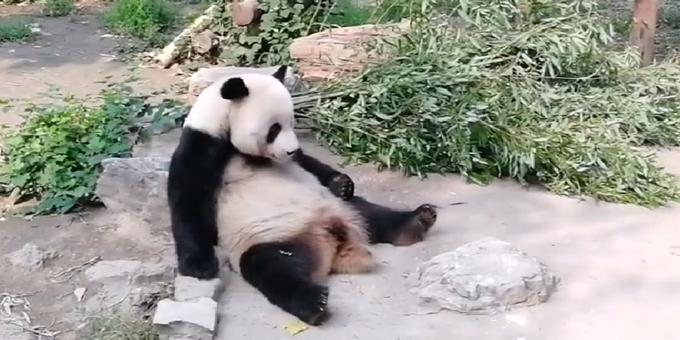 北京动物园回应大熊猫被砸,没提怎么处置扔石游客