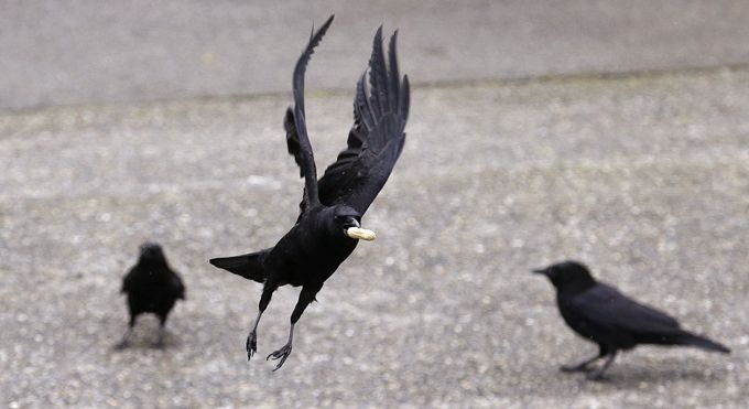 男子遭乌鸦追3年 因他救助一只乌鸦宝宝但失败了 出门就被啄