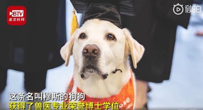 8岁治疗犬获博士学位 参加了超过7500次心理咨询