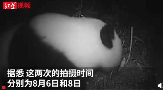 萌翻!四川土地岭首次拍到野生大熊猫,看镜头的样子太可爱了
