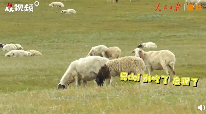 蒙古国牧场实拍捐赠给中国的羊插图