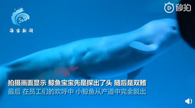  白鲸产子瞬间画面曝光,小鲸鱼像蠕虫一样从产道里滑出来,网友:好可爱