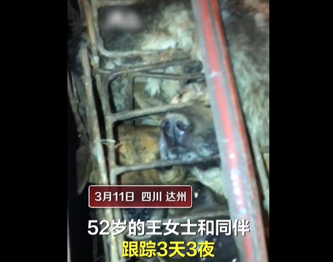 女子跟踪运狗车3天救600多条狗,有多个品种宠物犬,当地畜牧局回应
