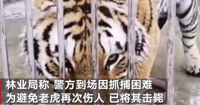 官方通报!河南一景区两只老虎逃出笼舍咬死饲养员被击毙